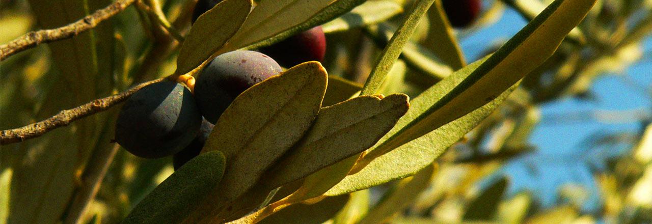 Aceite de oliva - Olive oil - Huile d'olive (Bierge-Sierra de Guara)
