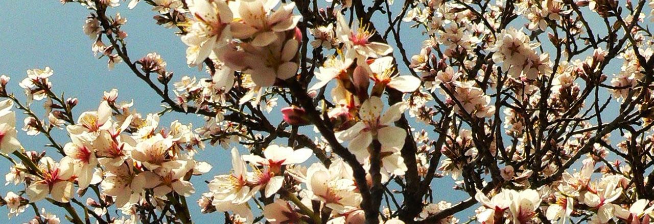 Almendro en flor cerca de Bierge - Sierra de Guara