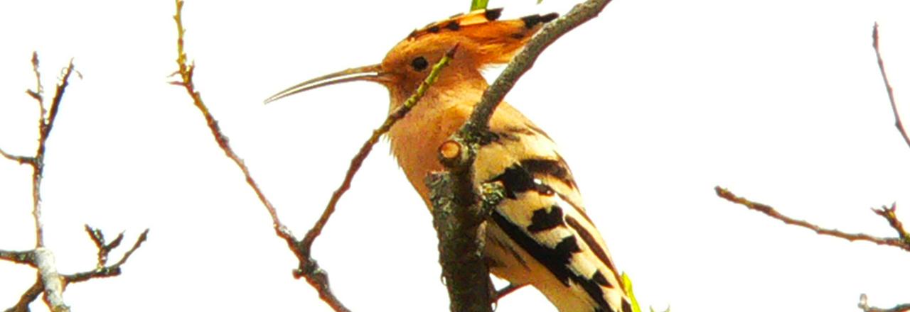 Upupa epops, ornithologie en Espagne et Sierra de Guara avec Expediciones-sc.es